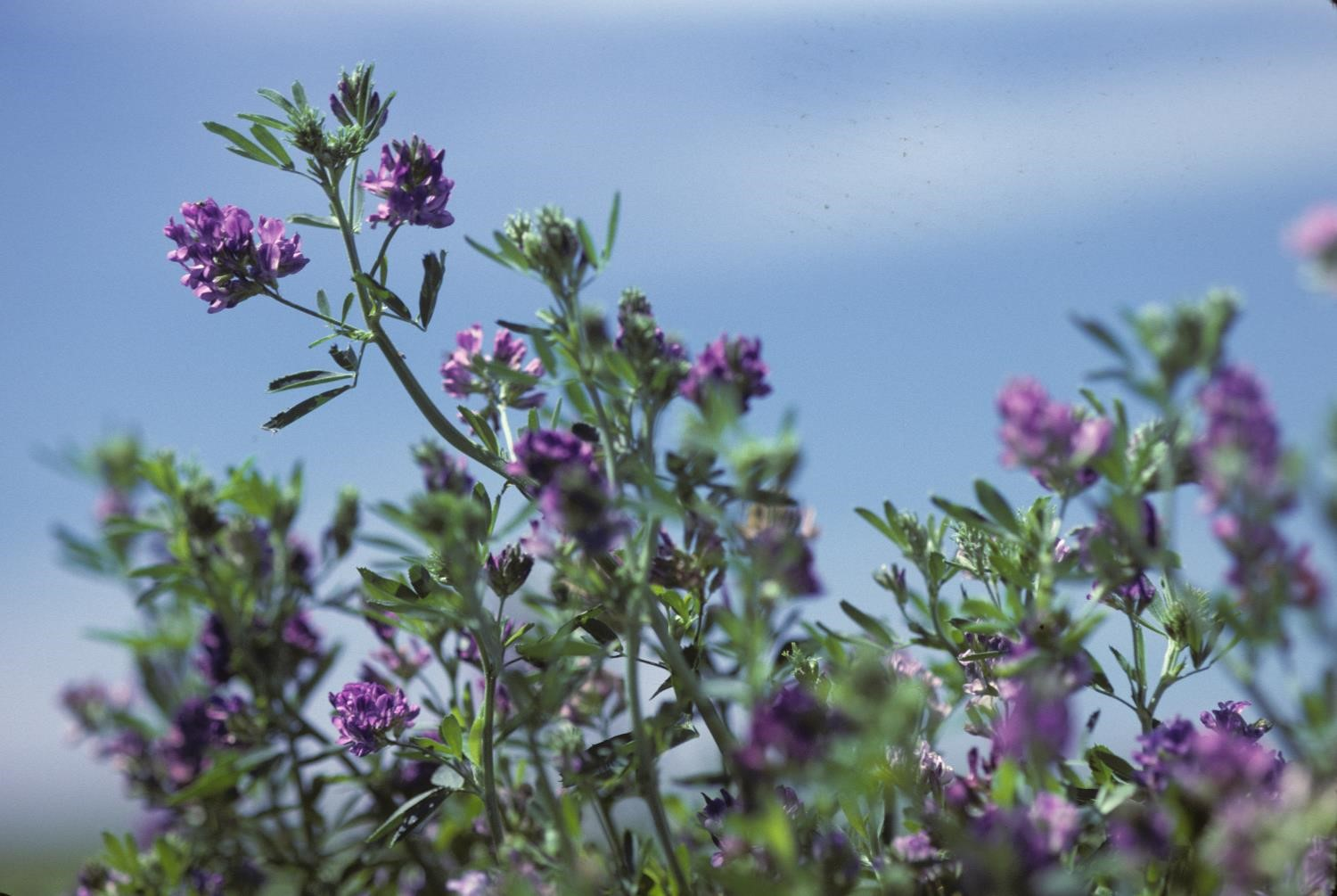 alfalfa plant with flowers in a field